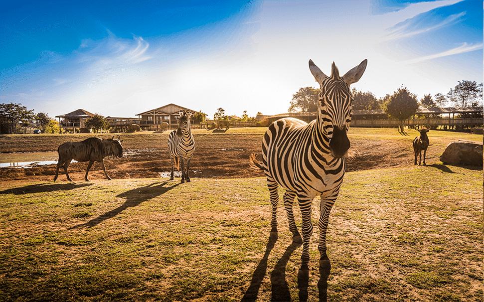 zoo lodge_plaine vue_africa lodges_nuit original_zèbre