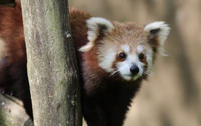 Arrivée d'une femelle panda roux !